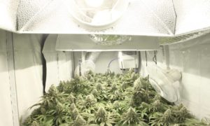 How To Grow Weed: A Step-by-Step Guide For Beginners